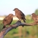 Starlings Sit and Jump on a Branch and Then Fly From It - VideoHive Item for Sale