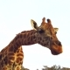 Giraffe Chewing Something in Savannah at Africa - VideoHive Item for Sale