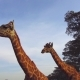 Couple of Giraffes in Savannah at Africa - VideoHive Item for Sale