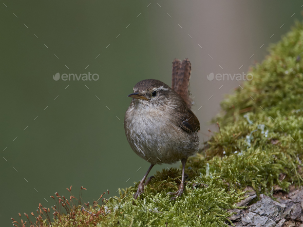 Eurasian wren (Troglodytes troglodytes) - Stock Photo - Images