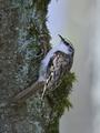 Eurasian treecreeper (Certhia familiaris) - PhotoDune Item for Sale