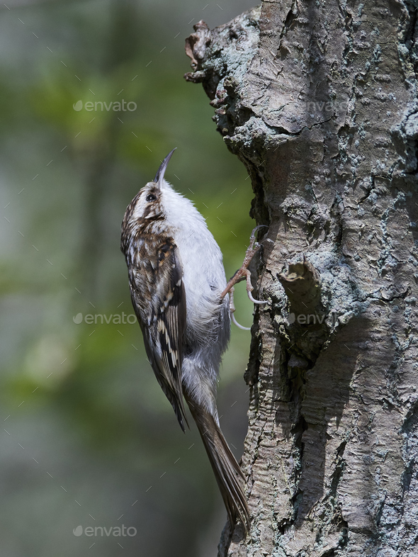 Eurasian treecreeper (Certhia familiaris) - Stock Photo - Images