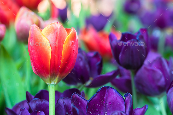 Red and purple tulips in the garden - Stock Photo - Images