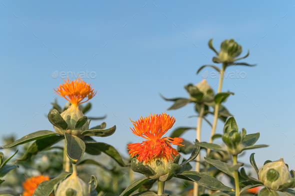 Safflower has begun to bloom-13 - Stock Photo - Images