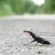 Beetle Deer on the Asphalt Road Creeps. Lucanus Cervus - VideoHive Item for Sale