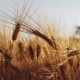 Golden Ripe Ears of Wheat Moving in Backlit Evening - VideoHive Item for Sale