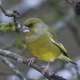 European greenfinch (Chloris chloris) - PhotoDune Item for Sale