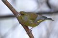 European greenfinch (Chloris chloris) - PhotoDune Item for Sale