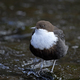 White-throated dipper (Cinclus cinclus) - PhotoDune Item for Sale