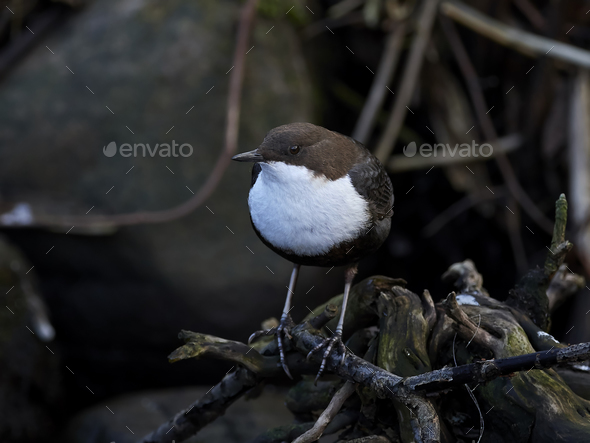 White-throated dipper (Cinclus cinclus) - Stock Photo - Images