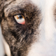 Wild Canine Eye Looks Right at Viewer Black and White Fur - PhotoDune Item for Sale
