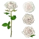 White Rose Blooms Set with Branch of Summer Flower - GraphicRiver Item for Sale