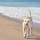 Happy dog on the sand beach - PhotoDune Item for Sale