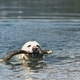 Dog swimming in lake - PhotoDune Item for Sale