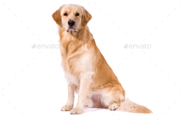 Purebred Golden Retriever isolated sitting looking at camera - Stock Photo - Images