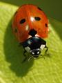Seven-spot ladybird (Coccinella septempunctata) - PhotoDune Item for Sale