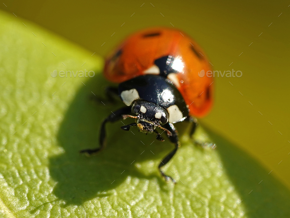 Seven-spot ladybird (Coccinella septempunctata) - Stock Photo - Images