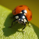 Seven-spot ladybird (Coccinella septempunctata) - PhotoDune Item for Sale