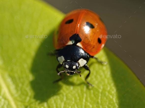 Seven-spot ladybird (Coccinella septempunctata) - Stock Photo - Images