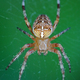 Cross spider (Araneus diadematus) - PhotoDune Item for Sale