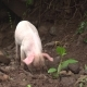 Hungry Little Pig Covered with Mud Looking for Food - VideoHive Item for Sale
