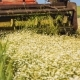 Aromatic Chamomile Collects a Tractor - VideoHive Item for Sale