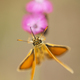 Orange butterfly drinking nectar on pink flower - PhotoDune Item for Sale