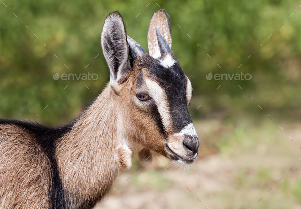 Farm animal - funny goat head - Stock Photo - Images