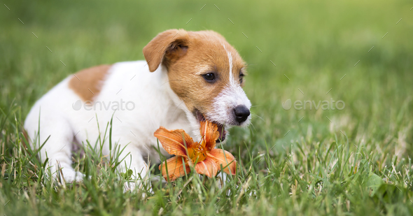 Pet dog happy puppy chewing a flower - web banner idea - Stock Photo - Images