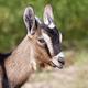 Farm animal - funny goat head - PhotoDune Item for Sale