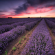 Lavender dream - PhotoDune Item for Sale