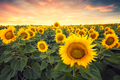 Sunflower field - PhotoDune Item for Sale