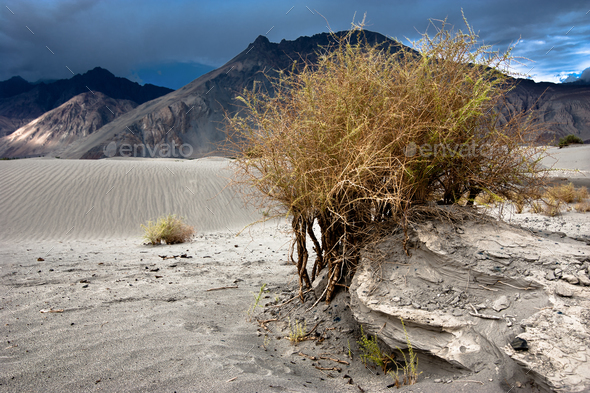 Desert plant growing at Nubra Valley sand dunes. Himalaya mountains - Stock Photo - Images