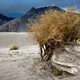 Desert plant growing at Nubra Valley sand dunes. Himalaya mountains - PhotoDune Item for Sale