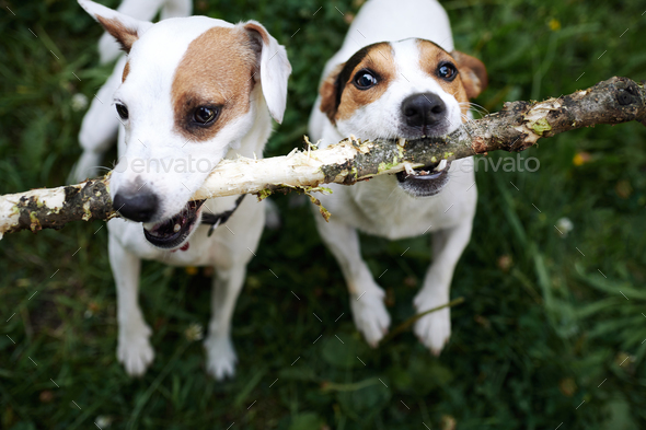 Jack russells fight over stick - Stock Photo - Images