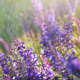 Lavender Flowers in Summer Rain - VideoHive Item for Sale