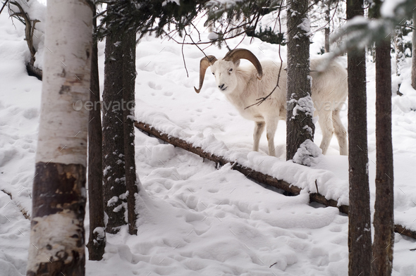 Dall Sheep Keeps an Eye on me in the Chugach Range of Alaska - Stock Photo - Images