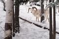 Dall Sheep Keeps an Eye on me in the Chugach Range of Alaska - PhotoDune Item for Sale