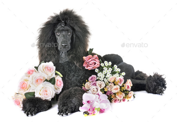 black standard poodle - Stock Photo - Images