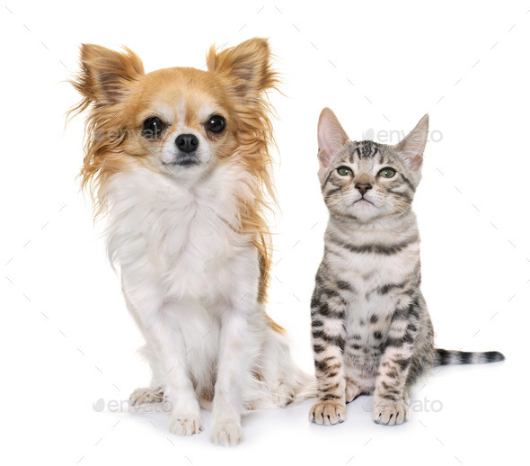 silver bengal kitten and chihuahua - Stock Photo - Images