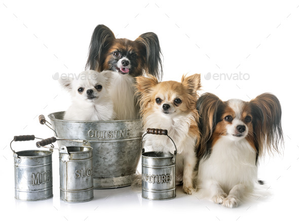 little dogs cooking - Stock Photo - Images
