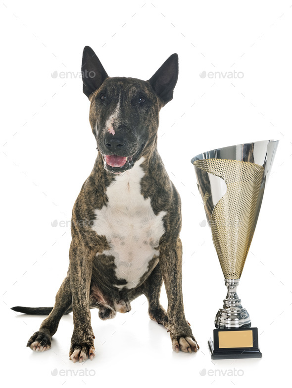 bull terrier and cup - Stock Photo - Images