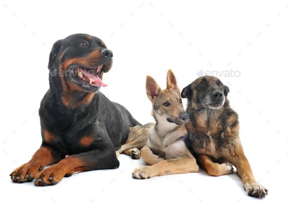 three dogs in studio - Stock Photo - Images