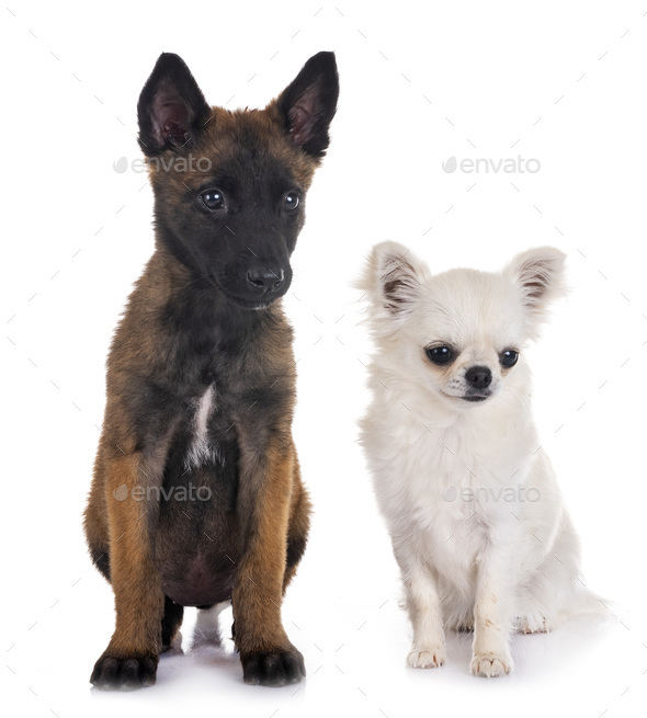 puppy belgian shepherd and chihuahua - Stock Photo - Images