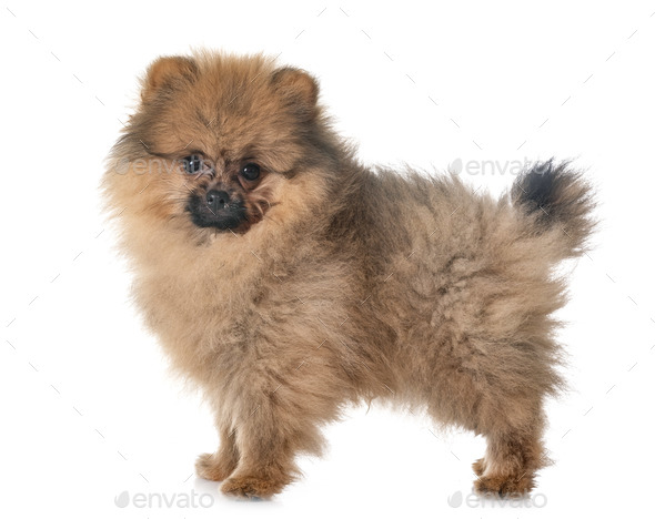 puppy pomeranian in studio - Stock Photo - Images
