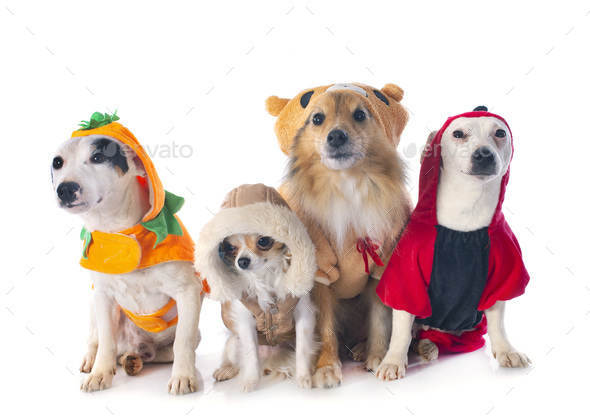 dressed dogs in studio - Stock Photo - Images