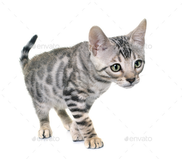 silver bengal kitten - Stock Photo - Images