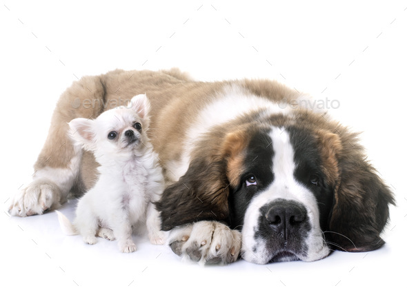 puppies chihuahua and saint bernard - Stock Photo - Images