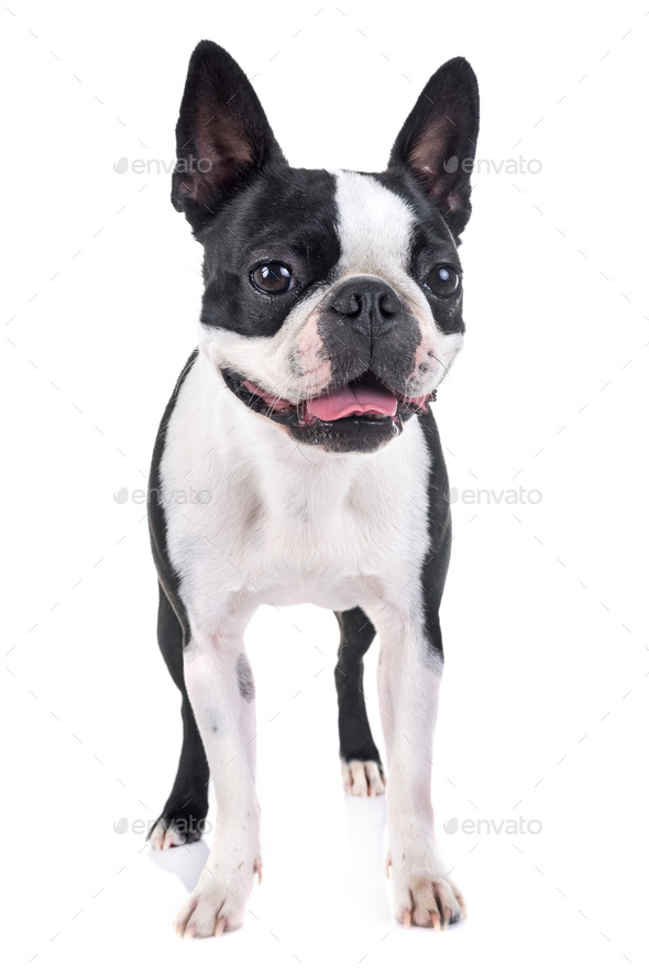 boston terrier in studio - Stock Photo - Images