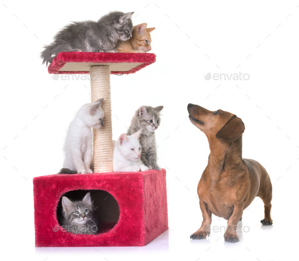 kitten and dachshund - Stock Photo - Images